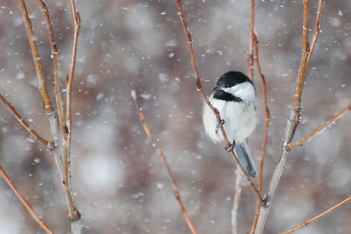 Chickadee in a Snow Storm - Project 365 Day 65 | by Ron Kube Photography