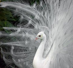 White Peacock | by Jeff Milsteen