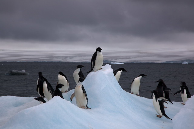 Adélie penguins on an iceberg