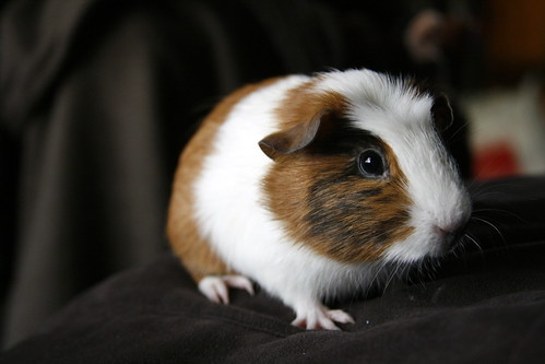 My new Guinea Pig! | by j.reed