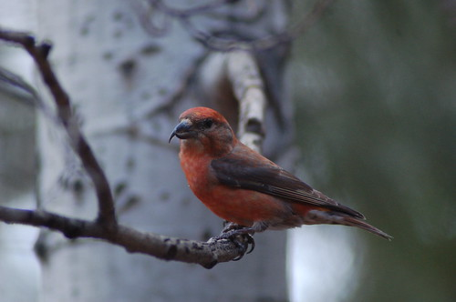 red crossbill | by katnor1