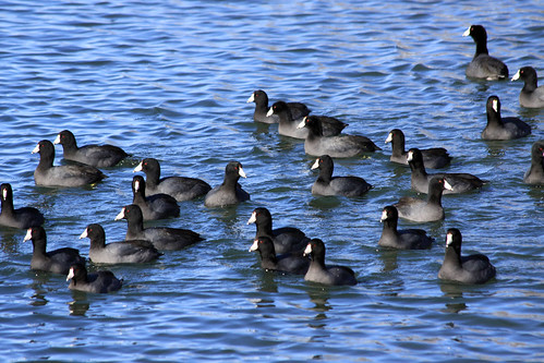 American Coots | by Laura Erickson