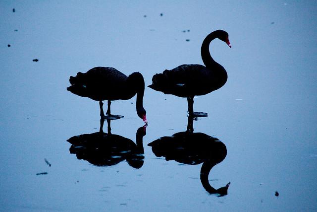 Black swans on frozen lake