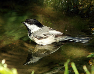 Black-capped Chickadee bathing | by Laura Erickson