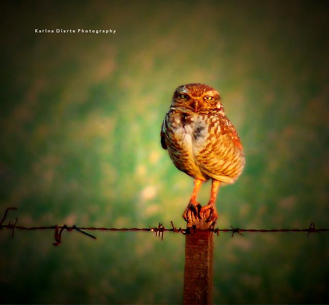 Lechucita Vizcachera / Burrowing Owl