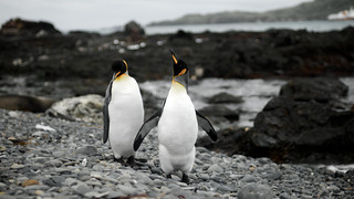 King penguins | by wili_hybrid