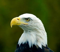 American Bald Eagle Close-up Portrait | by Beverly & Pack
