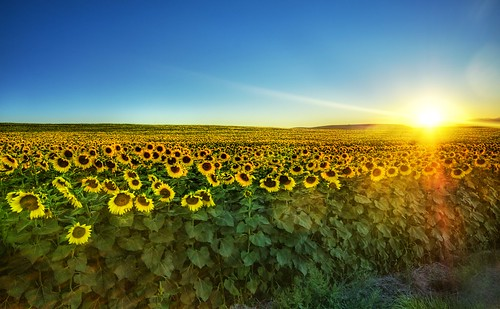 Sunflowers at Sunset | by Stuck in Customs