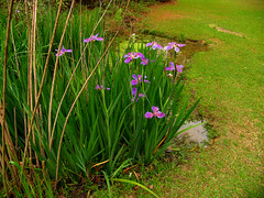 CrabAppleLane Irises - March 14, 2009 | by CrabAppleLane Rob