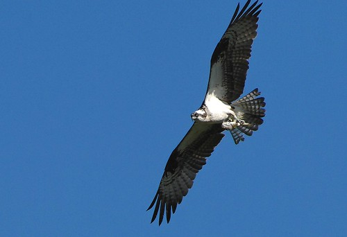 osprey2 | by Contra Costa Times