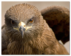 Black Kite {Milvus migrans} | by - Ariful H Bhuiyan -