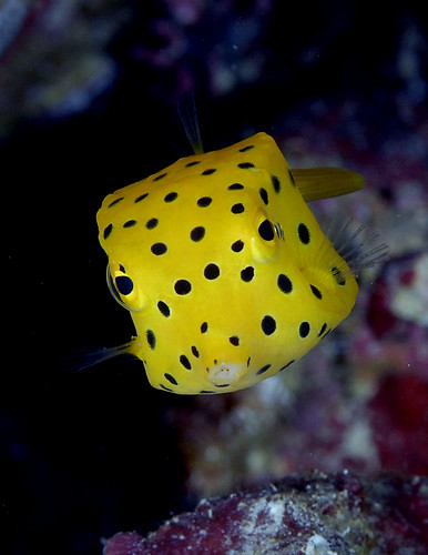 019_adj_DSC0354 aptly named boxfish | by edpdiver