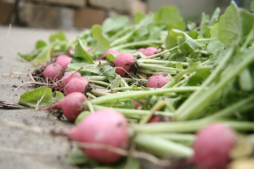 Pink Beauty Radishes - 316/365 | by lesley zellers