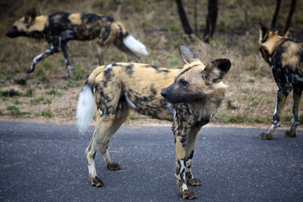 African Wild Dog - Kruger National Park