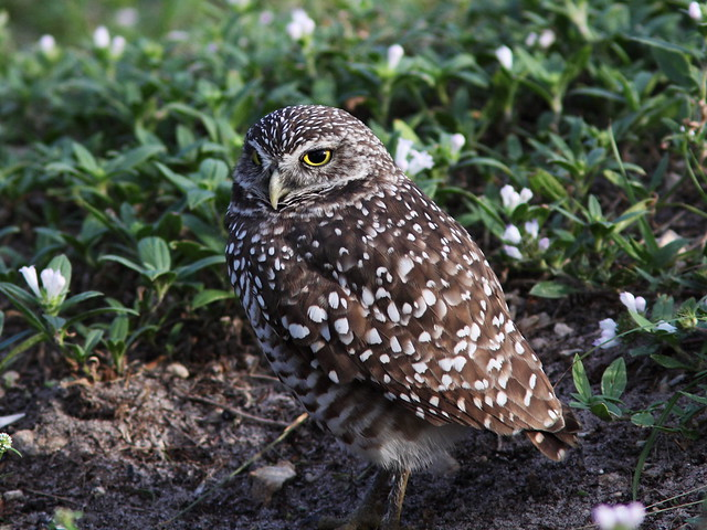 Burrowing Owl at Brian Piccolo Pk 3-20131114