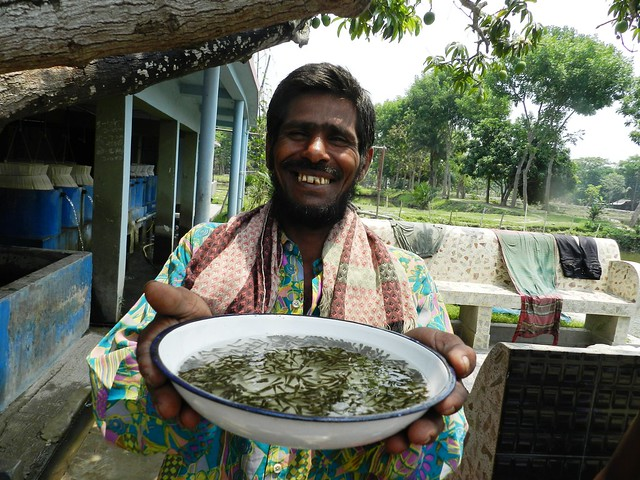Fish fry from a nursery in Jessore, Bangladesh. Photo by Md Masudur Rahaman, 2012.