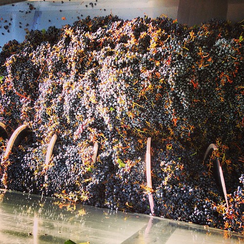Cabernet grapes getting crushed in the morning sun. #sonomaharvest2013 | by jordanwinery.com