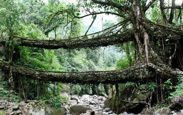 In Cherrapunji, India, one of the wettest places on Earth, the locals mold the roots of the Ficus elastica tree into stretching across rivers and taking root on the other side, forming amazing natural, living bridges. Locals use hollowed-out trunks of the