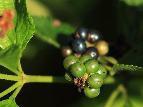 Lantana berries 20131205