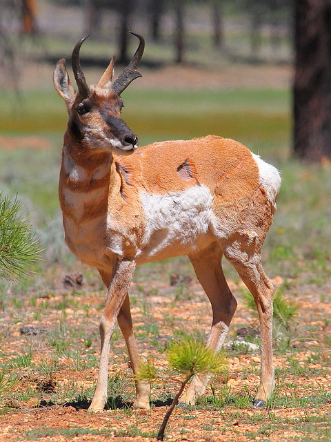 IMG_9962 Pronghorn Buck, Bryce Canyon National Park