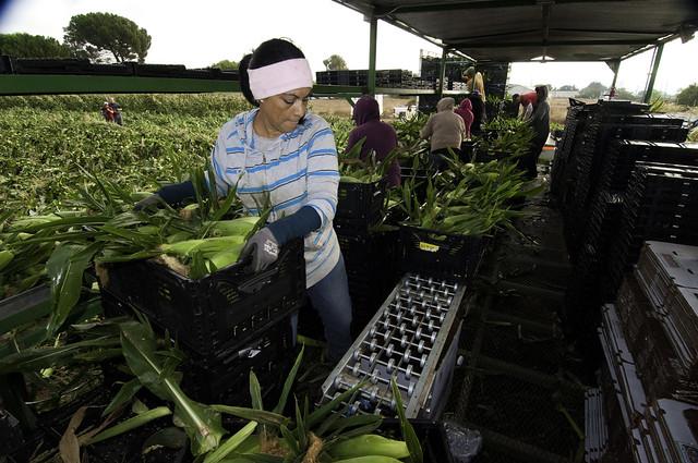 farmworkers harvesting corn