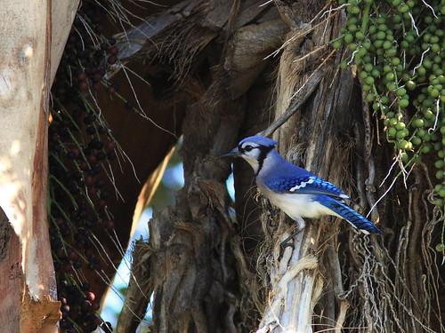 Blue Jay on Royal Palm 20140127