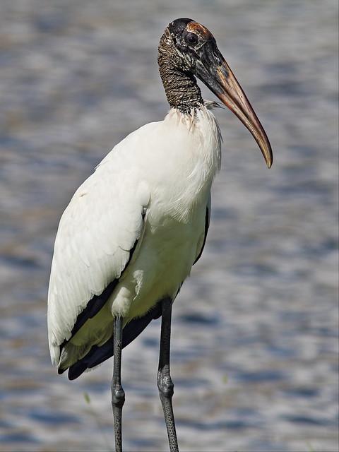 Wood Stork 20131004