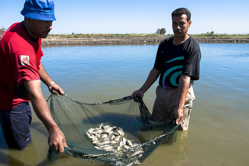 Hatchery workers harvest Abbassa nile tilapia from a hatchery in Egypt. Photo by Heba El-Begawi, 2013