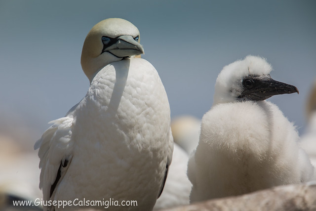 Gannet with baby