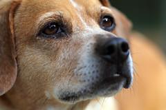Beagle upclose