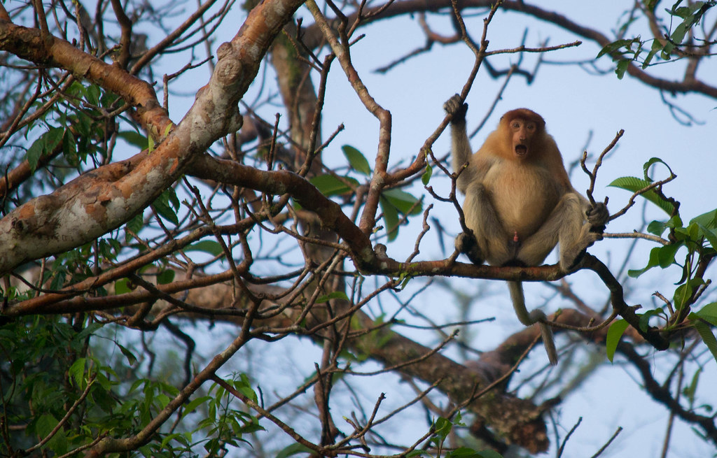 Borneo Proboscis Monkey Malaysia