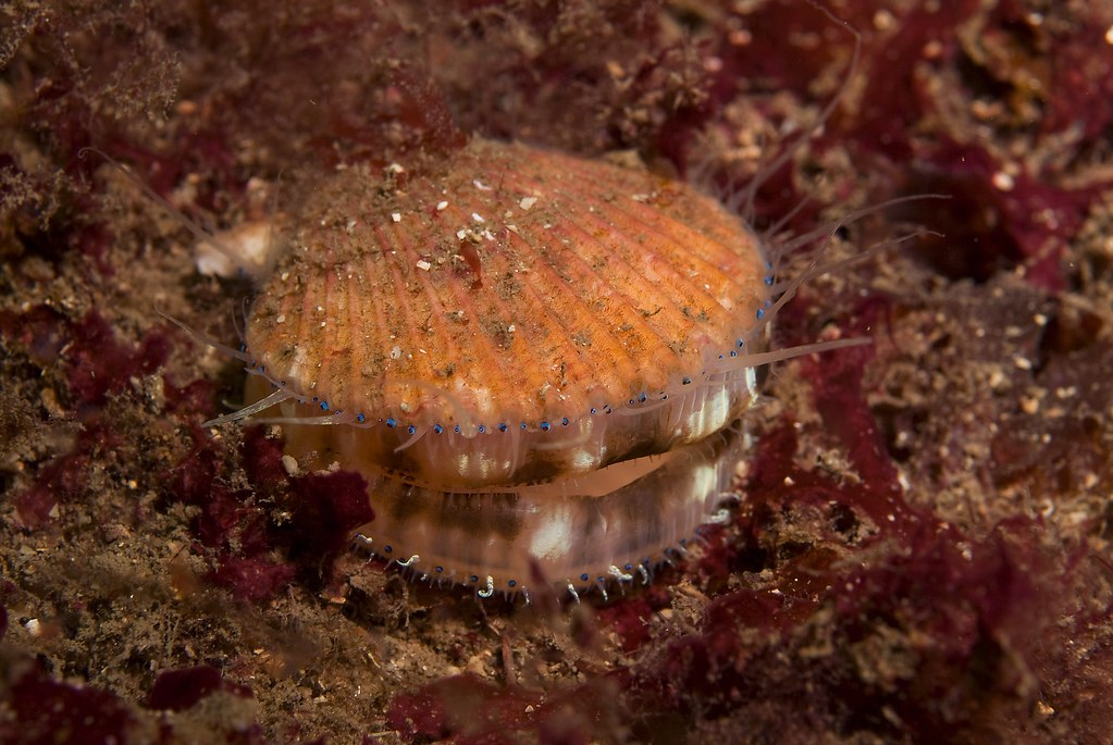 Close-up of a queen scallop with red algae on the surface of a flame shell bed