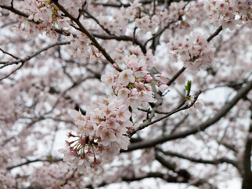 Cherry tree blossoms (sakura) at Sankei-en, Yokohama | by maki