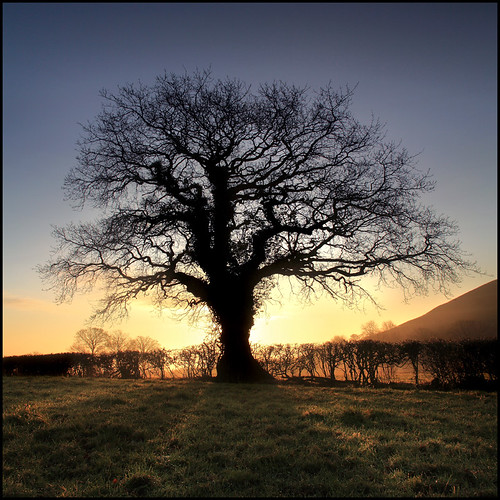 Oak Tree - Glastonbury | by angus clyne