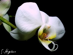 White Orchid 3 | by stephen.hughes56