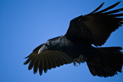 ... a raven hovering just overhead! (3 of 3) (11 Feb 10) | by ejbSF
