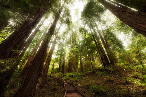 The incredible canopy of the Muir Woods | by kern.justin