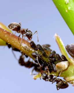Ant Milking Aphid | by Al Abbasi