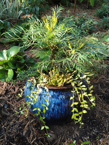 Mahonia in Ceramic Blue Container | by RHR Horticulture