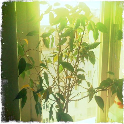 La plante c t de la fen tre ma plante n 39 a pas de for La fenetre a cote