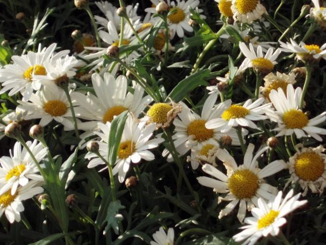 Argyranthemum frutescens 4603919986_dab6963557_o