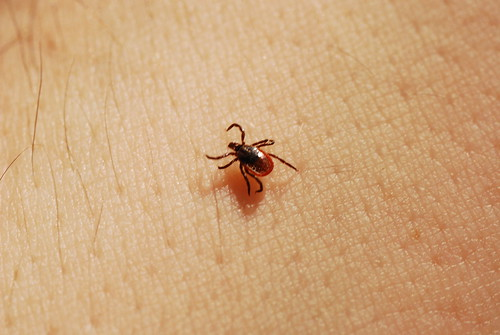 Deer Tick, Female (Ixodes scapularis) | by wackybadger