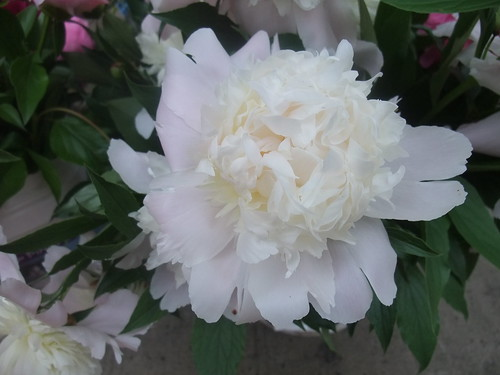 Peonies | by swampkitty
