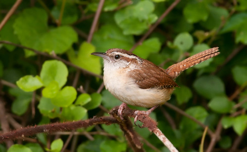 Carolina Wren, PA. | by Kelly Colgan Azar