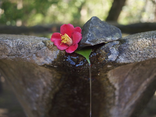 Tsubaki (camellia) 'fountain' at Honen-in, Kyoto | by maki