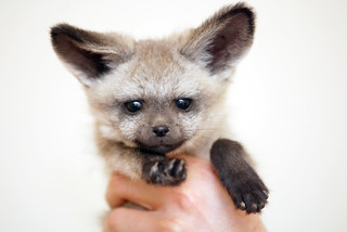 Bat eared fox | by floridapfe