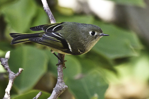 Ruby-crowned Kinglet | by Bob Gunderson