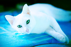 White Kitty Rana | by fofurasfelinas