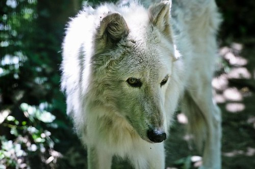 Gray Wolf | by Potter Park Zoo