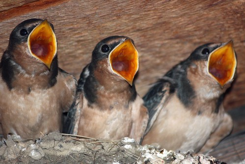 Three Hungry Baby Barn Swallows | by mclcbooks